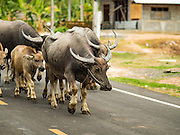 """10 MAY 2016 - BAN KHANA, TA TUM, SURIN, THAILAND: Water buffalo walk down the main road in the village of Ban Khana, near the Cambodian border in Surin province, Thailand. Water buffalo used to be the main """"beast of burden"""" for Thai farmers but now most Thai farmers use tractors and buffalo are kept as a source of meat.      PHOTO BY JACK KURTZ"""