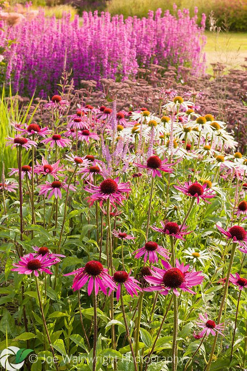 Sedums, Echinaceas and Lythrums pictured in early morning light in the Floral Labyrinth at Trentham Gardens, Staffordshire, designed by Piet Oudolf.