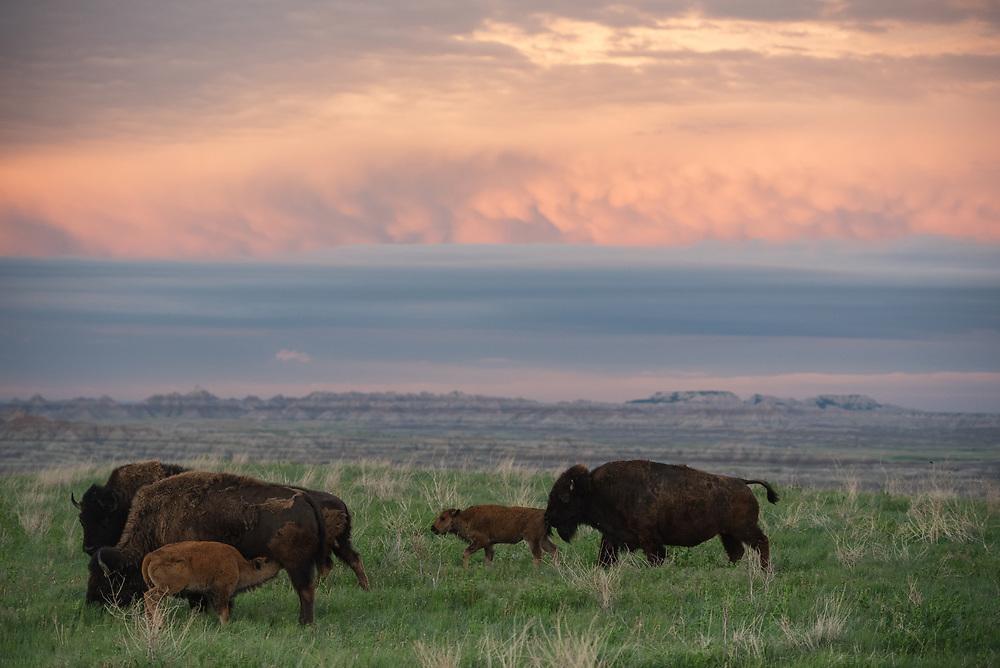Bison roam the Badlands in the early morning, Badlands National Park