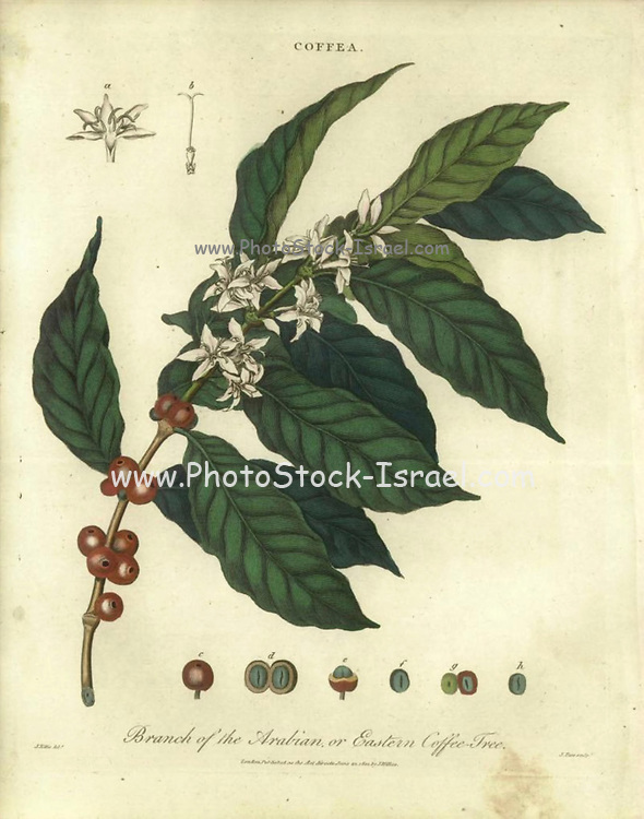 Arabian or Eastern Coffee Tree (Coffea) Handcolored copperplate engraving From the Encyclopaedia Londinensis or, Universal dictionary of arts, sciences, and literature; Volume IV;  Edited by Wilkes, John. Published in London in 1810