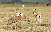A Spotted Hyena, Crocuta crocuta, walks past a wary group of Thomsons Gazelles, Eudorcas thomsonii,  in Ngorongoro Crater, Ngorongoro Conservation Area, Tanzania