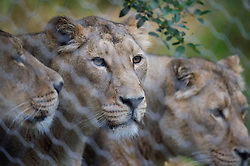 Embargoed to 0001 Thursday August 10 Asiatic lions at ZSL London Zoo which celebrates World Lion Day on August 10.