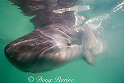 pygmy sperm whale, Kogia breviceps, calf (about 2 weeks old) in rehabilitation facility after stranding, Florida, USA