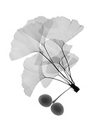An x-ray of ginko leaves.(Ginkgo biloba) also known as the maidenhair tree. The leaves are unique among trees in that they have no midrib and no network of veins; rather the venation consists of aconstantly branching fan from the base of the leaf.  Ginkgo biloba leaves and fruit are used in many herbal preparations.