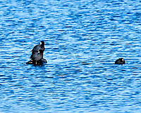American Coot (Fulica americana). Alamosa National Wildlife Refuge, Colorado. Image taken with a Nikon D300  camera and 80-400 mm VR lens