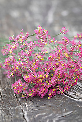 PInk Limonium for drying