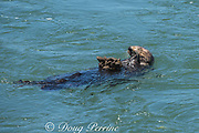 California sea otter, Enhydra lutris nereis ( threatened species ), eating mussels, with a large cluster of mussels balanced on its chest, Elkhorn Slough, Moss Landing, California, United States ( Eastern Pacific )