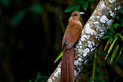 Nova Lima_MG, Brasil...Passaro Alma-de-gato (Piaya cayana) no galho de uma arvore no condominio Passargada em Nova Lima, Minas Gerais...The bird Squirrel Cuckoo (Piaya cayana) on the branch tree, in Nova Lima, Minas Gerais...Foto: JOAO MARCOS ROSA / NITRO