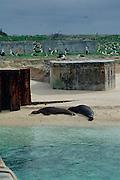 Hawaiian Monk Seals, Midway Island, N.W. Hawaiian Chain, Hawaii<br />