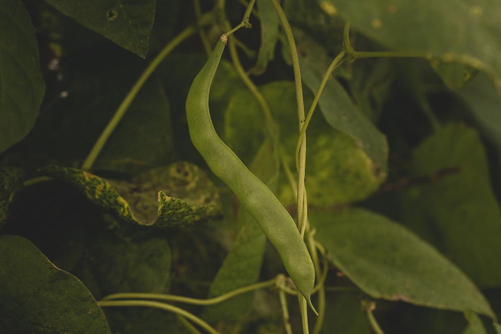 A fully grown bean in the garden.