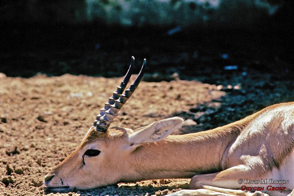 Gazelle, Jaipur Zoo