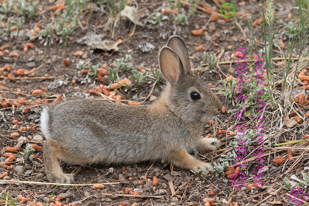 Poised to run; baby mountain cottontail is nervous about a close observer, Jemez Mountains, NM, © David A. Ponton