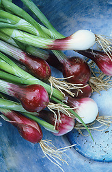 Spring Onion 'North Holland Blood Red Redmate' in a blue bowl. Allium cepa