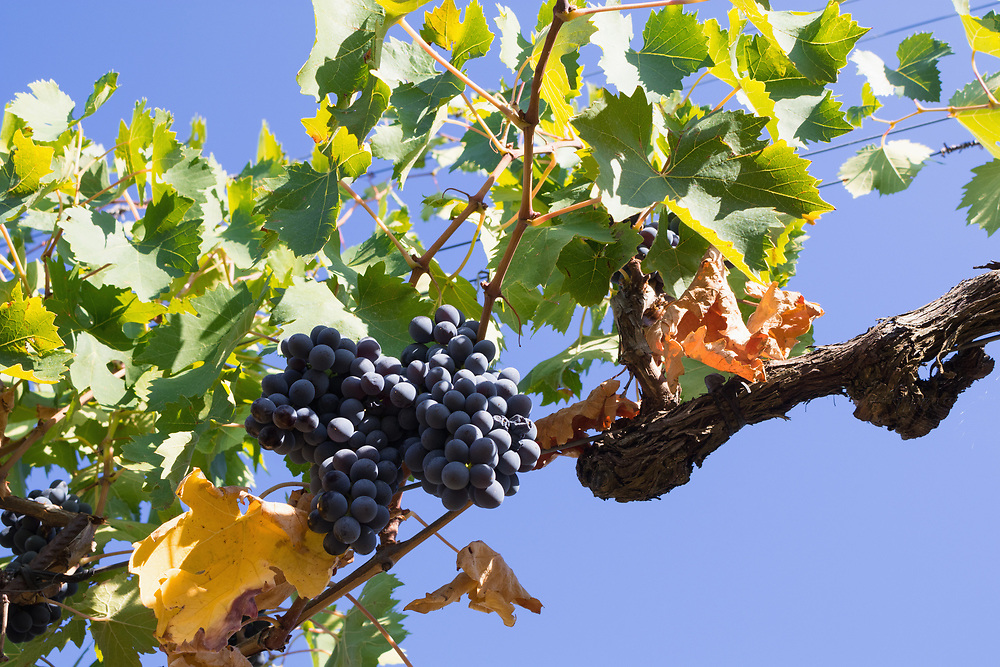Close-Up of growing grapes on Vine against sky, Val di Pesa, Tuscany, Italy