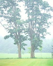 Fog hazed trees