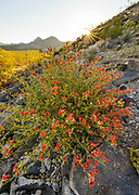 Coulter's Globemallow and Rising Sun, Death Valley National Park, California