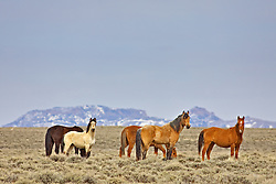 Herd of Wyoming Mustang roaming the desert by the Jack Morrow Hills.