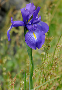 Iris (Iris species) growing in grassland. Picos de Europa Asturias, Spain. 07Jul2012