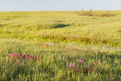 Purple paintbrush (Castilleja purpurea (Nutt.) G. Don var. purpurea), Blackland Prairie at Clymer Meadow Preserve, Texas Nature Conservancy, Greenville, Texas, USA.