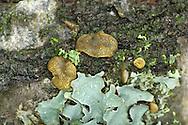 Hypocrea gelatinosa