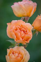Rose orange in Oast garden - apparently Josie knows id??