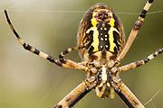 Female wasp spider (Argiope bruennichi) spinning silk. Godlingston Heath, Dorset, UK.