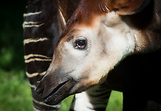 Meghgan the Okapi at London Zoo 14th May 2018