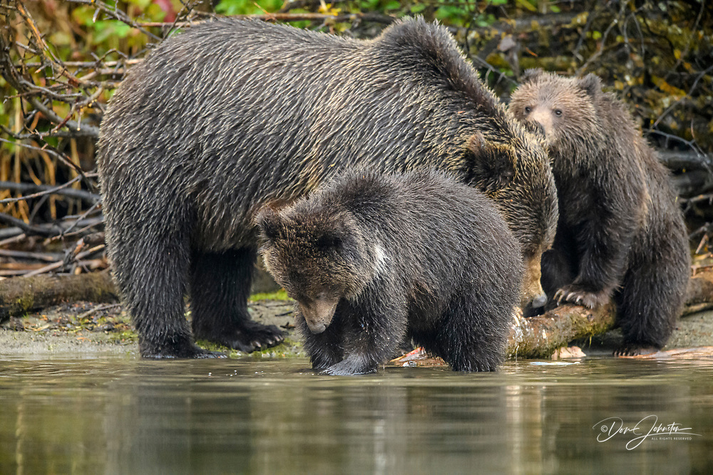 Grizzly bear (Ursus arctos)- Mother and first year cubs hunting sockeye salmon spawning in the Chilko River, Chilcotin Wilderness, BC Interior, Canada