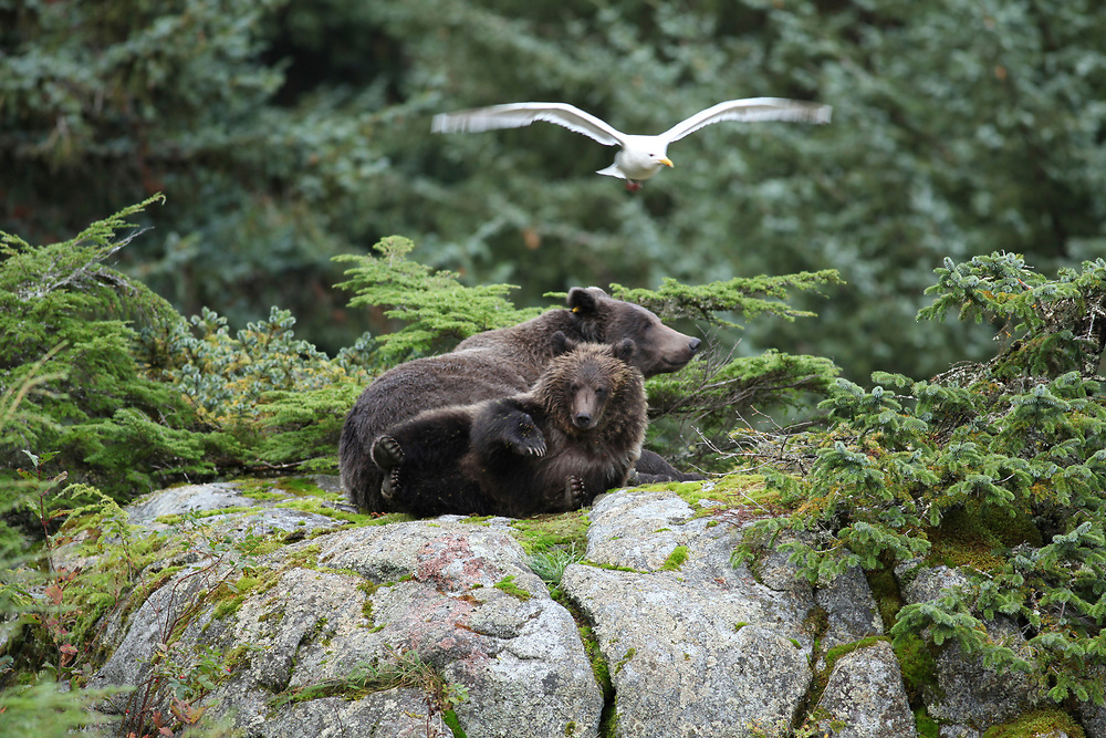 Brown bear cub with four paws in the air sitting on top of a large boulder near the Chilkoot River
