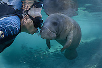 "Florida manatee, Trichechus manatus latirostris, a subspecies of the West Indian manatee, endangered. Theo, my husband, is the snorkeler demonstranting ""let the manatee come to you"". Passive observation with one's hands to oneself  is how to interact with this endearing and often ""friendly"" marine mammal. There is strong sunlight  and blue spring water with schools of mangrove snapper (Lutjanus griseus)  on a cool Florida day. Horizontal orientation and polite, passive observation. Three Sisters Springs, Crystal River National Wildlife Refuge, Kings Bay, Crystal River, Citrus County, Florida USA."