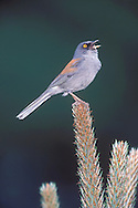 Yellow-eyed Junco - Junco phaeonotus