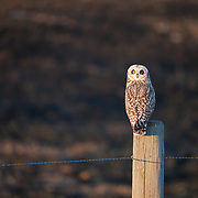 Short-eared owl (Asio flammeus) sitting on a fence post overlooking recently burned grassland habitat that it needs for nest site. Ninepipe National Wildlife Refuge, Montana