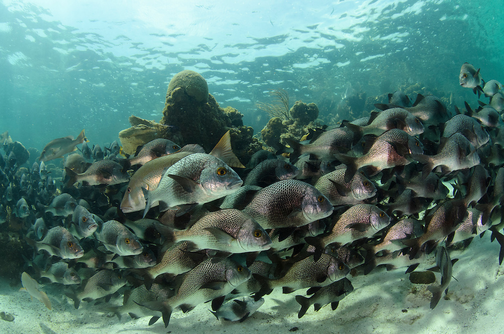 Black Margate (Anisotremus surinamensis) & Dog Snapper (Lutjanus jocu)<br /> Hol Chan Marine Reserve<br /> near Ambergris Caye and Caye Caulker<br /> Belize<br /> Central America