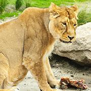 NLD/Rotterdam/20150626 - Paul de Leeuw opent nieuwe leeuwenverblijf Diergaarde Blijdorp, een leeuwin