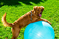 An Australian Shepherd/Golden Retriever mix Puppy balanced on an exercise ball, Littleton, Colorado USA.