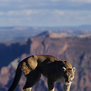 Mountain Lion or Cougar (Felis concolor) in the canyonlands of southern Utah. Captive Animal