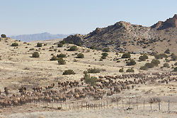 Bison herd moving through gate between fenced areas during bison roundup, Ladder Ranch, west of Truth or Consequences, New Mexico, USA.