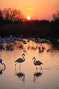 """FLAMINGOES, Camargue. Sunset. France, Provence, wildlife park and nature reserve, swampland region between Arles and Saintes Maries de la Mer. Many wild birds especially known for thousands of pink flamingoes migrating and living there all year around. Fears of bird  flu arrival with migrating birds from overseas. ..Important notice: Caption must include """"Parc Ornithologique du Pont de Gau © Nigel Dickinson"""""""