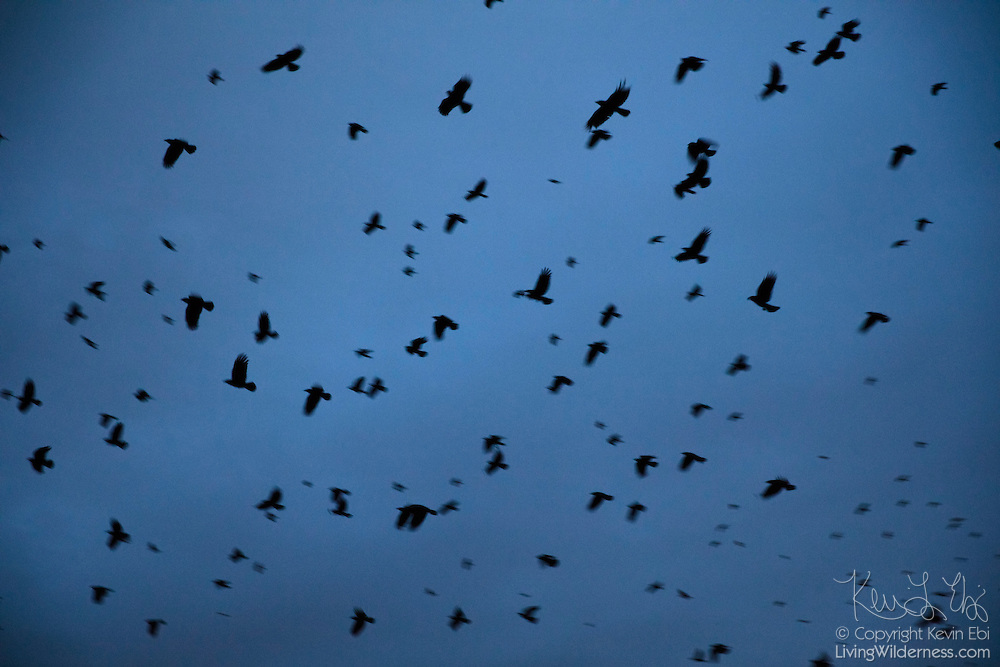 American crows (Corvus brachyrhynchos) come in to land on a roost in Bothell, Washington, that is home to as many as 15,000 crows each night during the winter months.