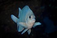 Parma kermadecensis (Kermadec scalyfin)