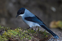 Black-headed Sibia, Heterophasia melanoleuca, sitting on moss covered parts of a tree in Baihualing, Gaoligongshan, Yunnan, China