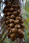Pirapora_MG, Brasil...Cacho de bacuri em Pirapora...The bunch of bacuri in Pirapora...Foto: JOAO MARCOS ROSA / NITRO