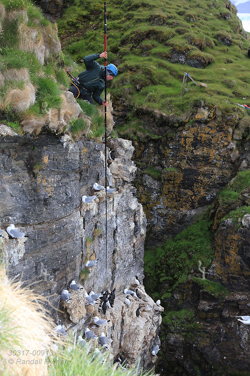 Perched atop sheer cliffs of Ossian Sars Nature Reserve, Norwegian Polar Institute field tech Delphin Ruche snags Brünnich's guillemot, aka thick-billed murre (Uria lomvia), from ledge-nesting colony with nylon noose on pole; Kongsfjorden, Svalbard.