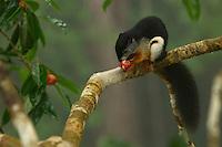 Prevost's Squirrel (Callosciurus prevostii) aka Tri-colored Squirrel.<br />Feeding on fig from the strangler fig Ficus dubia.