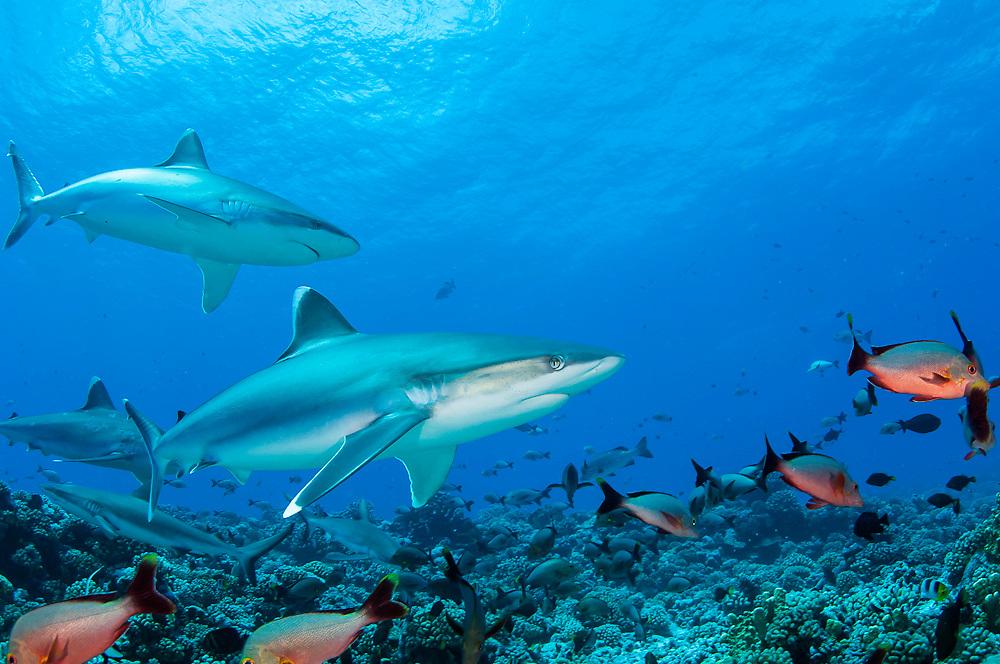 Silvertip Shark, Carcharhinus albimarginatus, swims along Avatoru Pass in Rangiroa, French Polynesia