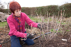Woman pruning a fruit bush on an allotment.