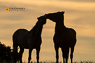 Wild horses silhouetted in Theodore Roosevelt National Park, North Dakota, USA