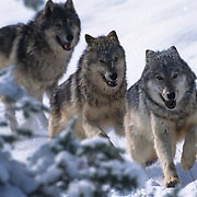 Gray wolf (Canis lupus) pack running during winter in the Rocky Mountains. Captive Animal