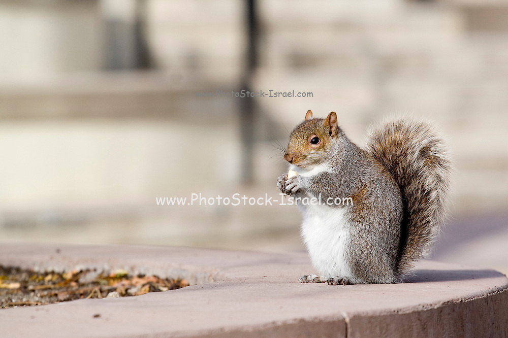 Minnesota, USA, Minneapolis, North American red squirrel in the city  November 2006