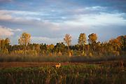 Roe deer (Capreolus capreolus) standing in sunrise light shining over buckwheat field and old forest clearing, near Limbaži, Vidzeme, Latvia Ⓒ Davis Ulands | davisulands.com